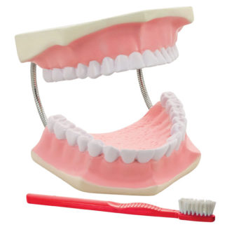 Eisco AM0050B - 3 x Life Size Dental Care Model - 330 x 150 x 50mm