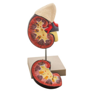 Eisco AM0110 - Kidney and Adrenal Gland Model - 2 Parts - 120 x 12...