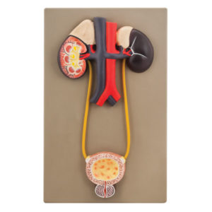 Eisco AM0112 - Urinary Organs - Kidney with Bladder Model - Life Size